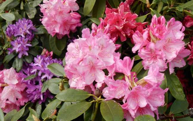 Appropriate Pruning Methods For Rhododendrons